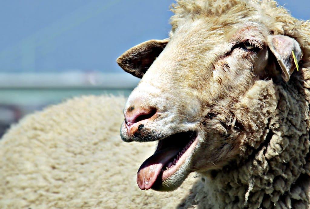 口が開き、呼吸過多になっている羊