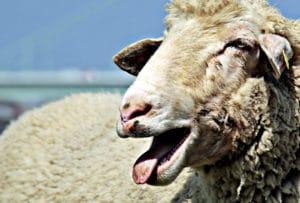 口呼吸をしている羊