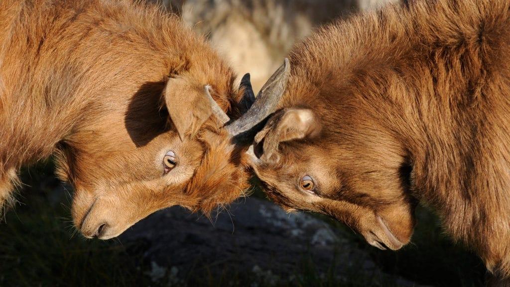 二頭の闘牛が戦っている