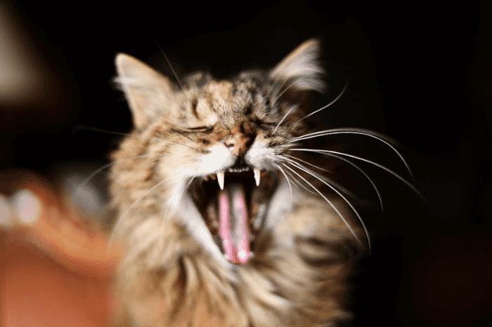 口呼吸している猫